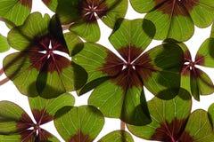 leaved växt av släkten Trifolium fyra Arkivfoto