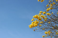 Leaveless tree in blossom. Tabebuia chrysotricha tree with yellow flowers Stock Photo