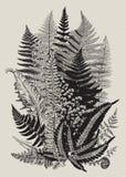 Leaver ferns. Composition. Vector botanical vintage illustration. Black and white Royalty Free Stock Image
