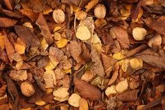leaves över valnötter arkivbild