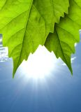 Leaves. A leaf bathes in sunlight. In the background blue sky, and sun royalty free stock photos