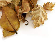 Leaves Royalty Free Stock Image