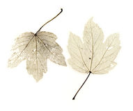 Leaves. Skeletons on white background Royalty Free Stock Photography