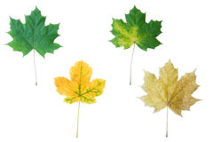 Leaves. Four autumn leaflets are isolated on a white background Stock Photos