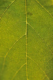 Leaves. Grape leaf detail for photo work royalty free stock image