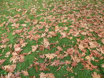 Leaves. On grass,autumn, suitable as background Royalty Free Stock Photos