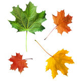 Leaves. Color maple leaves, yellow, green, red Royalty Free Stock Photo