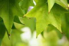 Leaves. Close up of green leaves on bokeh background Stock Photography