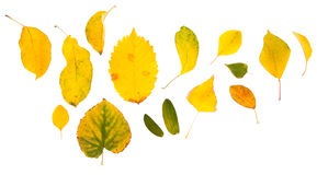 Leaves. Many different randomly spaced leaves, yellow, isolated Stock Photos