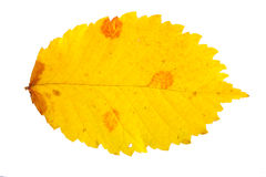 Leaves. One beautiful leaf with three orange-spotted, yellow, isolated stock images