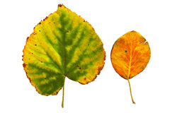 Leaves. Two beautiful leaves, yellow and green, red, isolated Stock Photos
