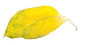 Leaves. One leaf, a little yellow, isolated stock image