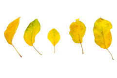 Leaves. Five leaves, isolated on a white background stock image