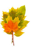 Leaves. Maple leaves on each other, the isolation Royalty Free Stock Images
