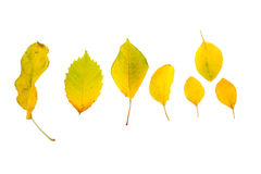 Leaves. Of different types of horizontal, yellow insulated Royalty Free Stock Photos