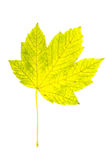 Leaves. Single maple leaf yellow green ,isolated royalty free stock photography