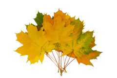 Leaves. Bunch of beautiful maple listev isolated on a white background Stock Images
