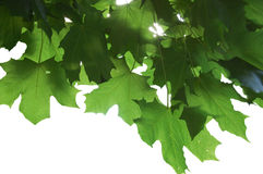 Leaves. With sun in background Stock Image