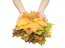 Leaves. Autumn leaves in hand isolated on white background Royalty Free Stock Photography