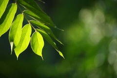 Leaves. Green leaves glowing in sunlight Royalty Free Stock Photo