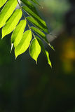 Leaves. Green leaves glowing in sunlight Stock Images
