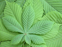 Leaves. Of chestnut Royalty Free Stock Photo