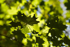 Leaves. Green leaves with yellow sunshine Royalty Free Stock Photos