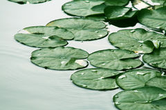 Leaves. Water lily leaves in water Stock Photos