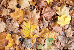 Leaves. Autumn leaves on the land as a background Stock Photography