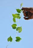 Leaves. Fresh green leaves like hanging human hearts Stock Photography