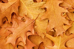 Leaves. Texture of dry autumn leaves Stock Images