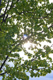 Through the leaves. Sun is looking through the leaves Royalty Free Stock Image