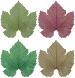 Leaves. Four colors of a grape leaf Stock Photography