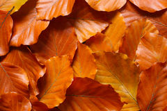 Leaves. A lot of golden beech leaves Royalty Free Stock Photo