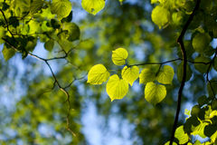 Leaves. Of elm in pushing up the sun Stock Photography