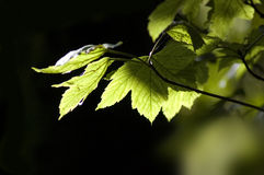 Leaves. Woodland leaves in sunlight. Ample copy-space if required royalty free stock image