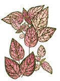 Leaves. Decorative,pink leaves with dark green veins and edges,from my flower garden, make an interesting pattern royalty free stock image