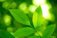 Leaves Royalty Free Stock Photo