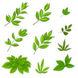 Leaves. Summer green leaves of various plants on a white background, , set Royalty Free Stock Images