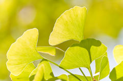 Leaves. A close-up of the ginkgo tree leaves Stock Photography