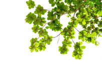 Leaves. Green Leaves Isolated On White royalty free stock photo