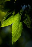 Leaves. Green leaves stock photo