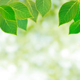 Leaves. Fresh green leaves background with copy space royalty free stock photos