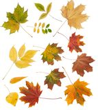 Leaves. Colorful leaves collection isolated on white stock images