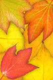 Leaves. Colorful leaves in a forest in fall Royalty Free Stock Images