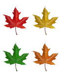Leaves. Autumn leaves isolated on white background stock photo
