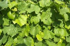 Leaves. Detail of sunlit leaves dog wines Stock Image