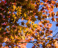 Leaves. Maple tree leaves backlit by blue sky Stock Images