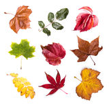 Leaves. Collection beautiful colorful autumn leaves isolated on white background Stock Photography