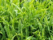 Leaves. Green leaves of  Tuberous Sword Fern Stock Images